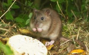 Ratte2